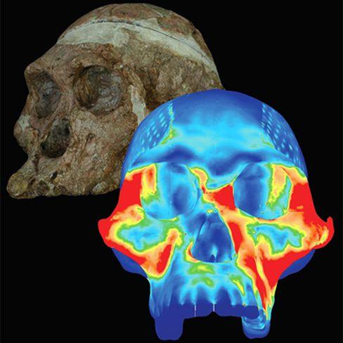 Vormenschenschädel und Computermodell: Knochensäulen links und rechts der Nase