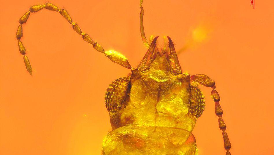 In Bernstein eingeschlossener Käfer
