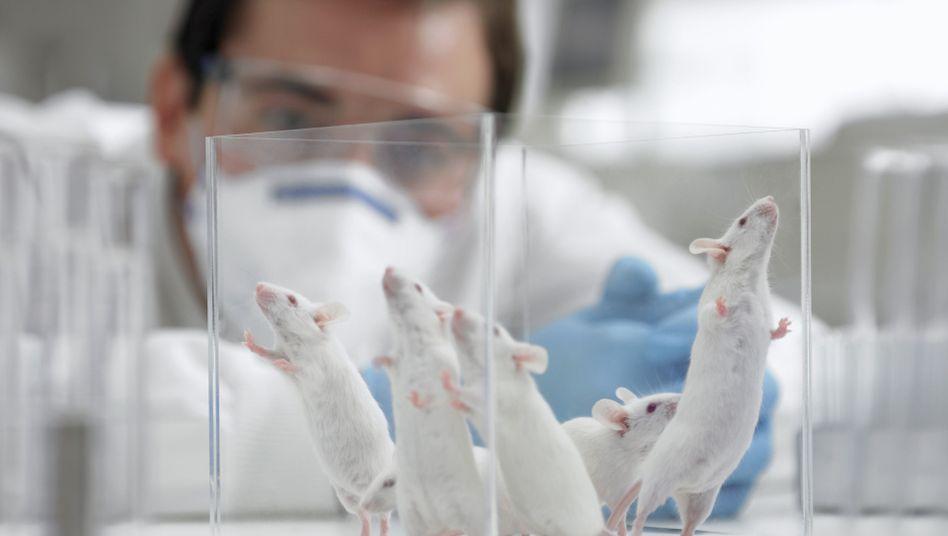 Mäuse im Labor: Strahlenschutz durch Brokkoli-Substanz?