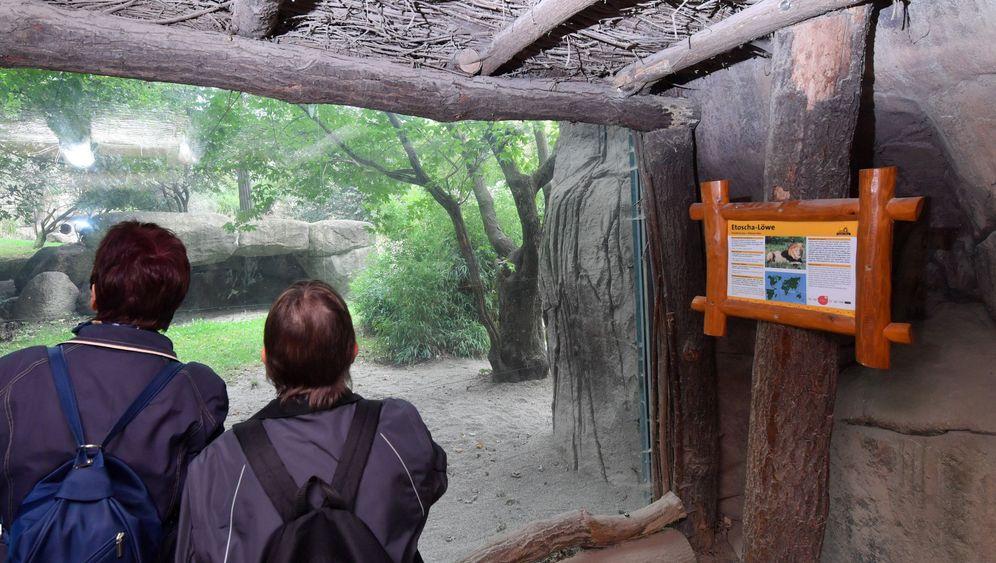 Leipziger Zoo: Trauer um Löwe Motshegetsi