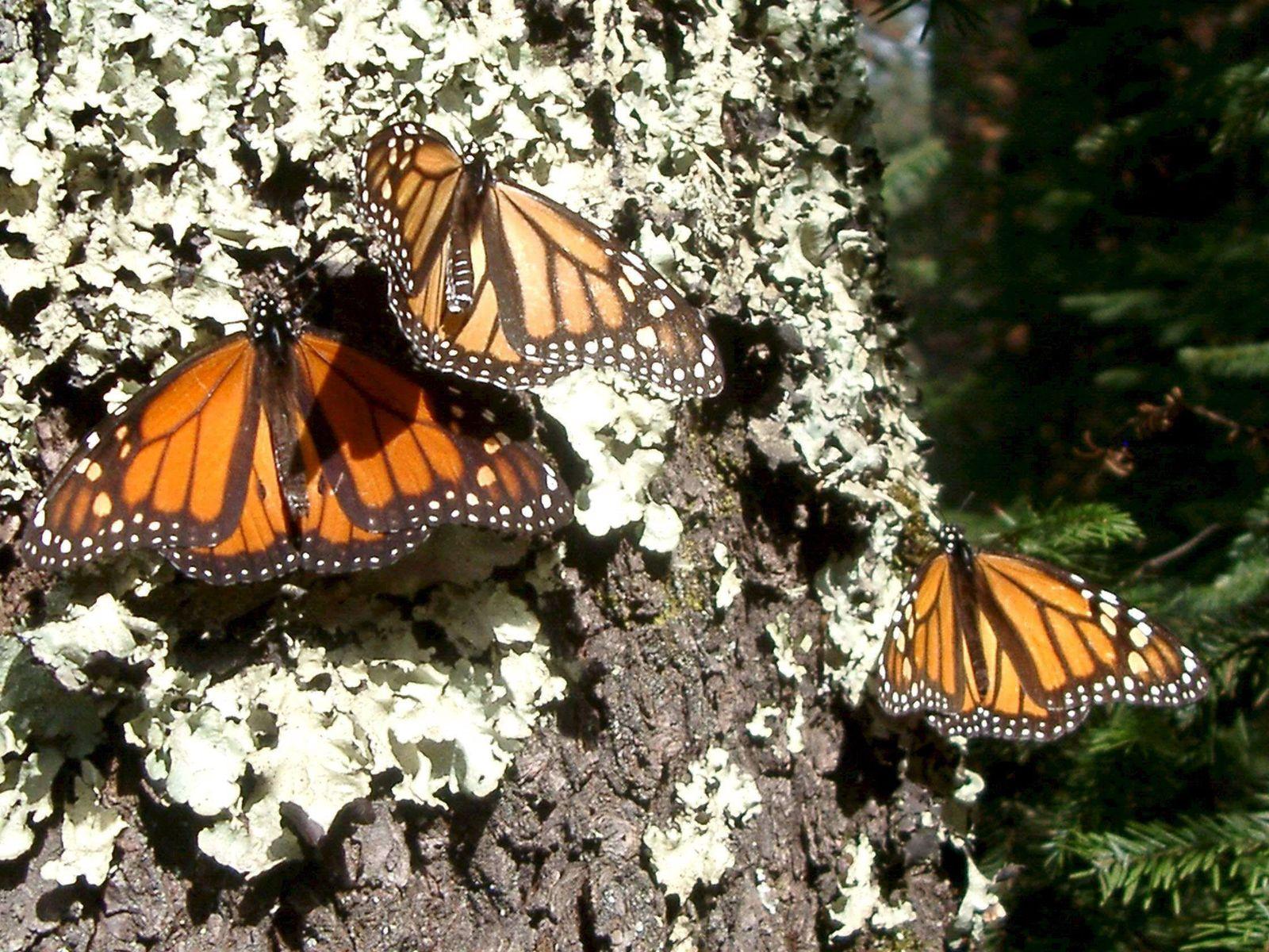 Monarchfalter / Mexico