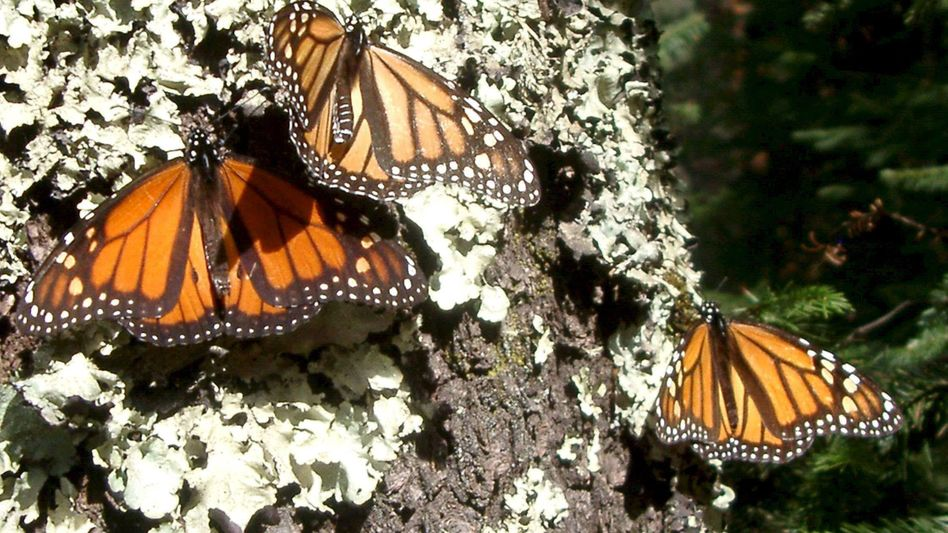 Monarchfalter in Mexiko: Gefährdeter Langstreckenflieger