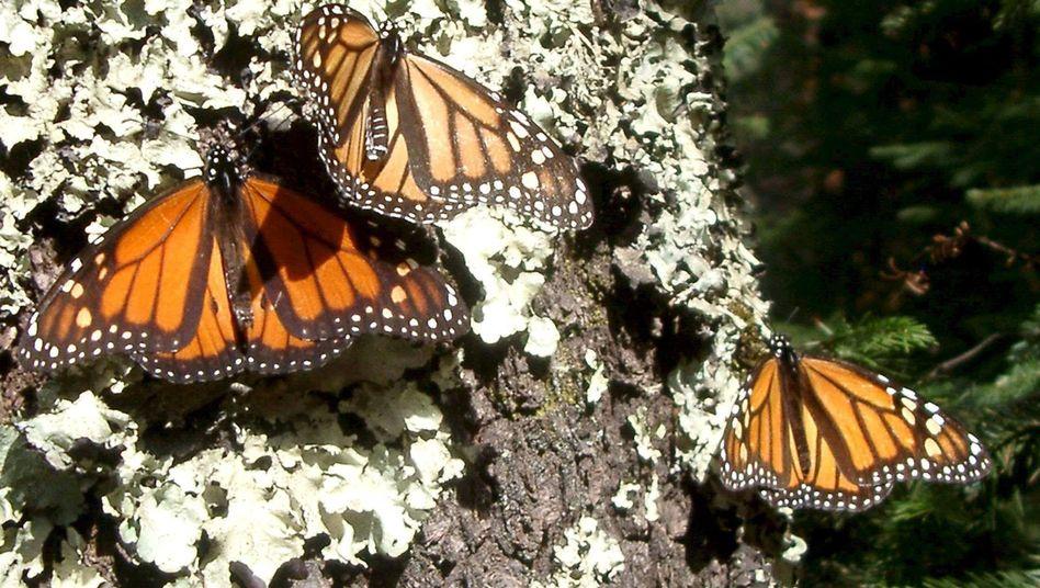 Monarchfalter (Archivbild): Bei Männchen stärkt Salz die Muskulatur, Weibchen bekommen große Augen