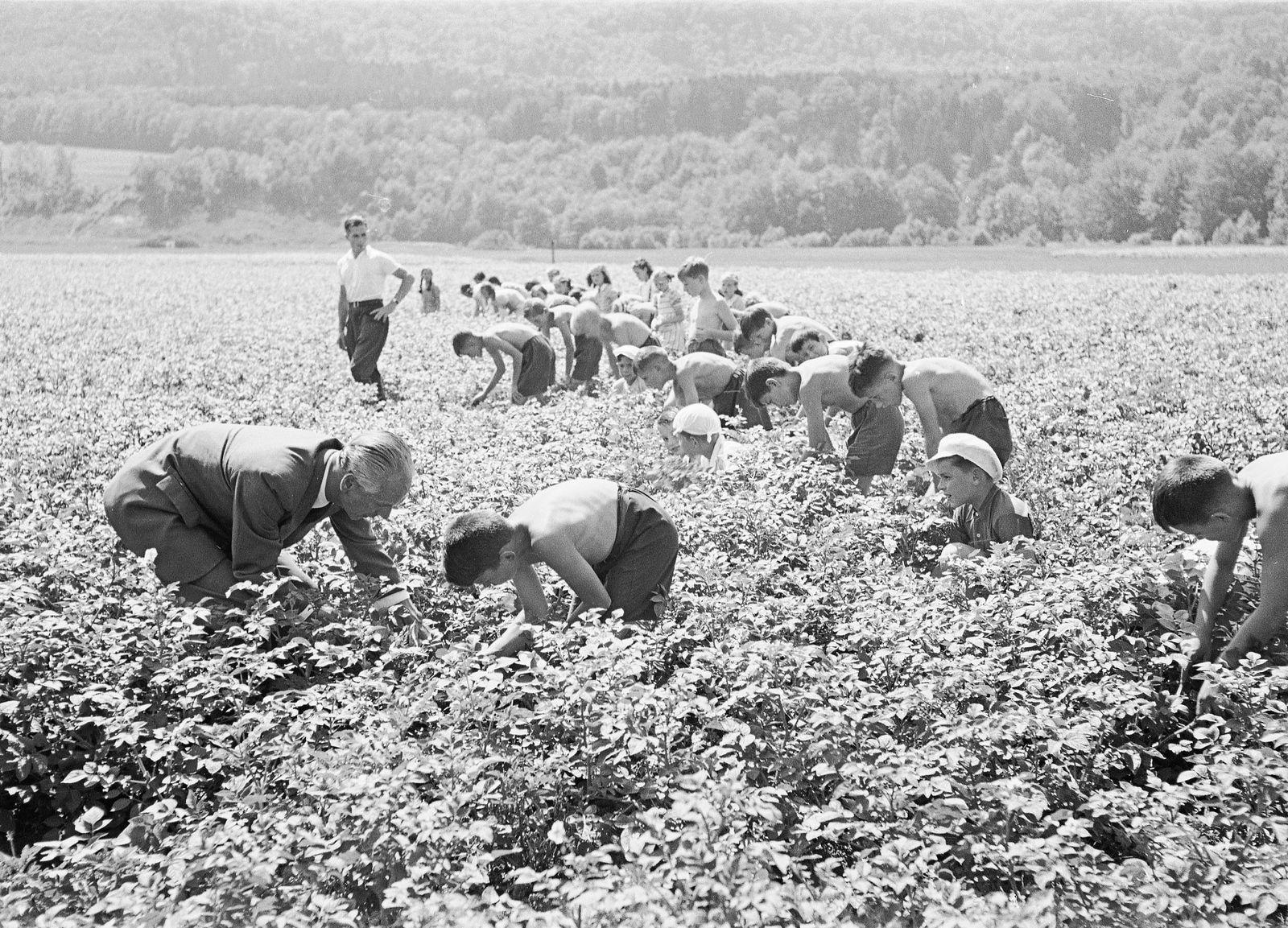 WK 2: Anbauschlacht; Kartoffelkäfer suchen, Allmend 1942