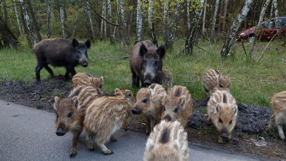 """Wildschweine in Polen: """"Fairer Abwägungsprozess"""""""