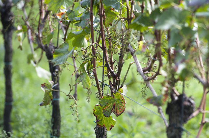 Alles abgepflückt: Unbekannte stahlen Weintrauben im Wert von über 100.000 Euro