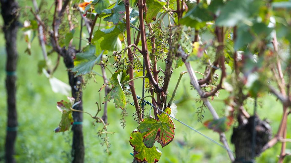 Bare vines were all that was left of the Von Winning vineyard's grapes on Tuesday.