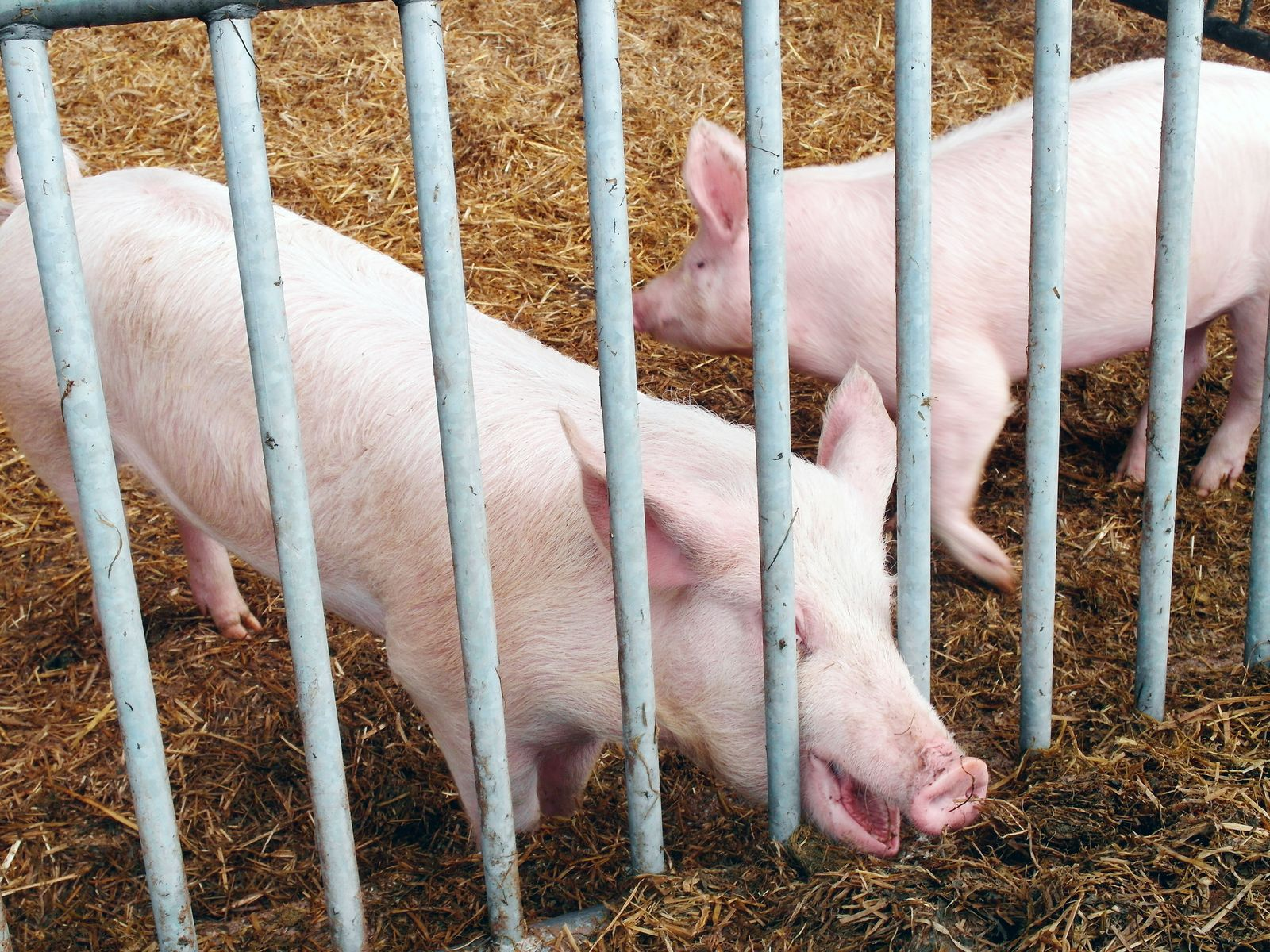 Bio-Schweine Bäumer