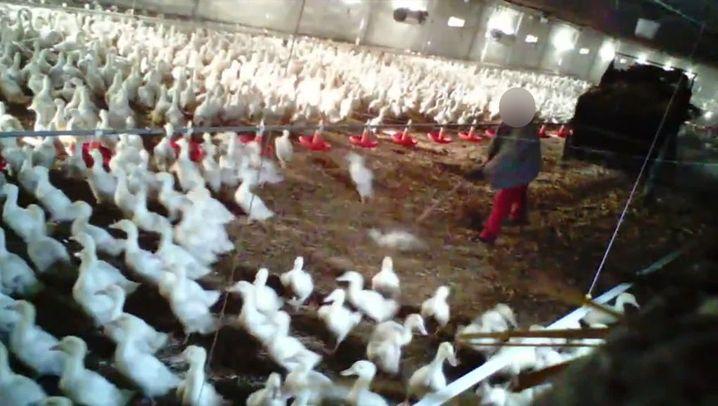 Tierqual bei Wiesenhof-Zulieferer: Mit der Mistgabel gegen Enten