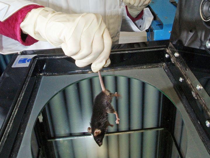 Maus im Versuchslabor