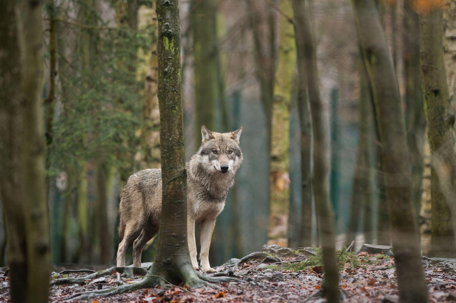 Wanderzeit der Wölfe: Zweite bestätigte Sichtung 2018
