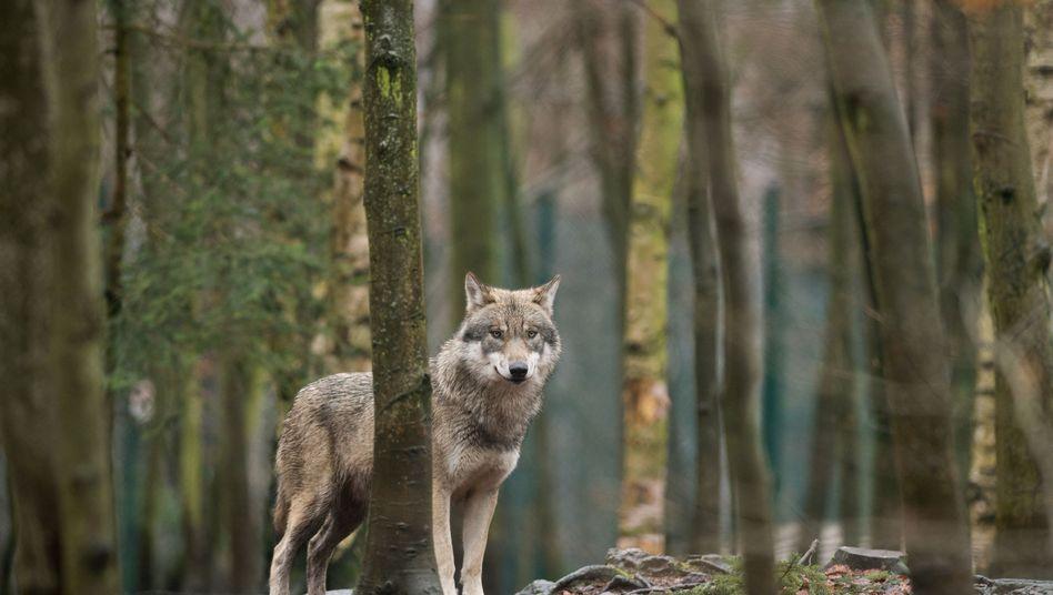 Bleibt in diesem Roman Nebenfigur: der Wolf