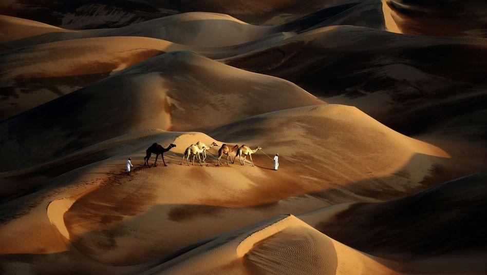 Kamele in der Wüste Rub al-Chali (Archiv), etwa 150 Kilometer von Abu Dhabi entfernt: In der Region wird es immer heißer