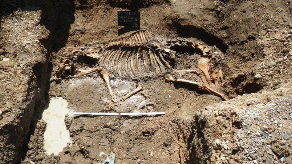 Hässlich, aber schnell: Handelt es sich um das Skelett von Rennpferd Doctor Syntax?