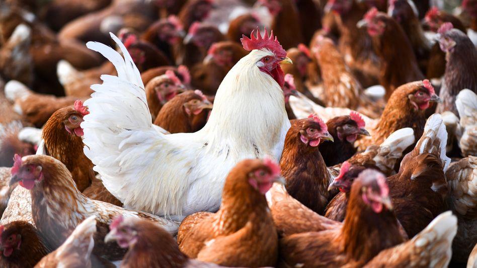 Hühnerzucht in Baden-Württemberg: Wie teuer wird unser Essen?