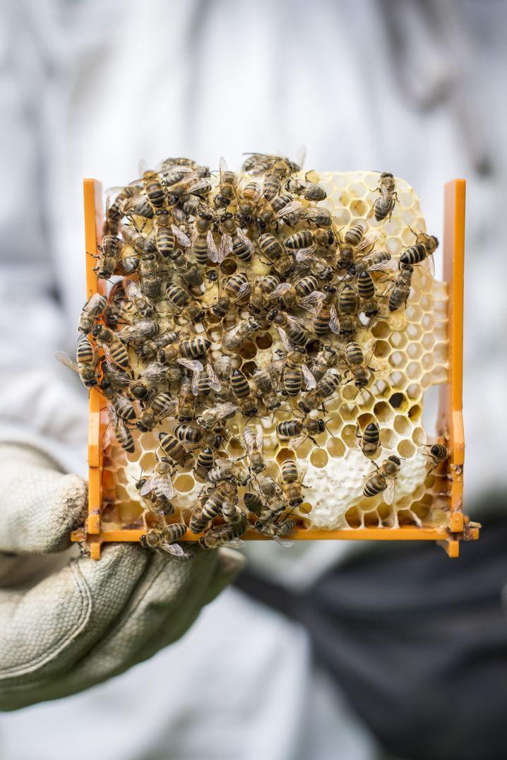 Honigbienen auf der Wabe