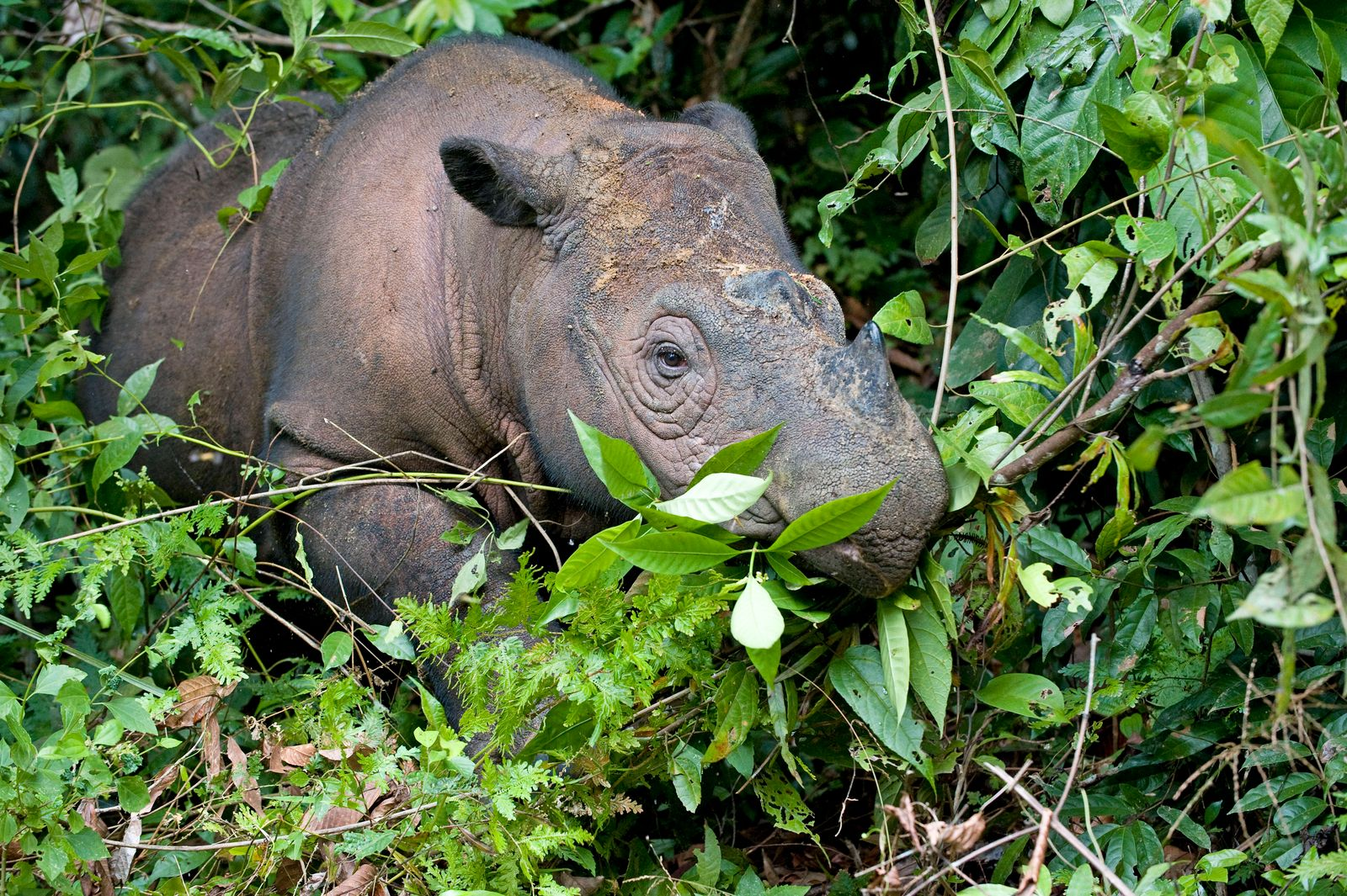Sumatran Rhinoceros - walking in forest (Dicerorhinus sumatrensis). Way Kambas National Park - Lampung Province - southe