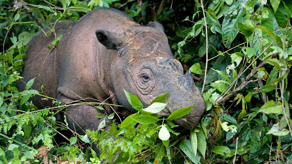 """Sumatra-Nashorn (Dicerorhinus sumatrensis): """"Wir höhlen die Fähigkeit des Planeten aus, Leben zu erhalten"""""""