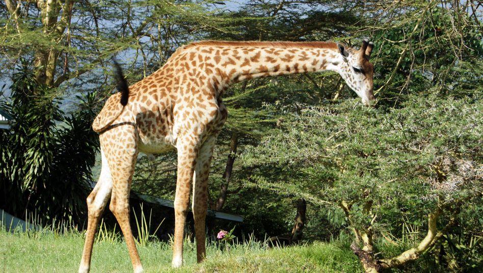 Giraffe im Arusha-Nationalpark in Tansania: Gefahr durch Wunderheiler