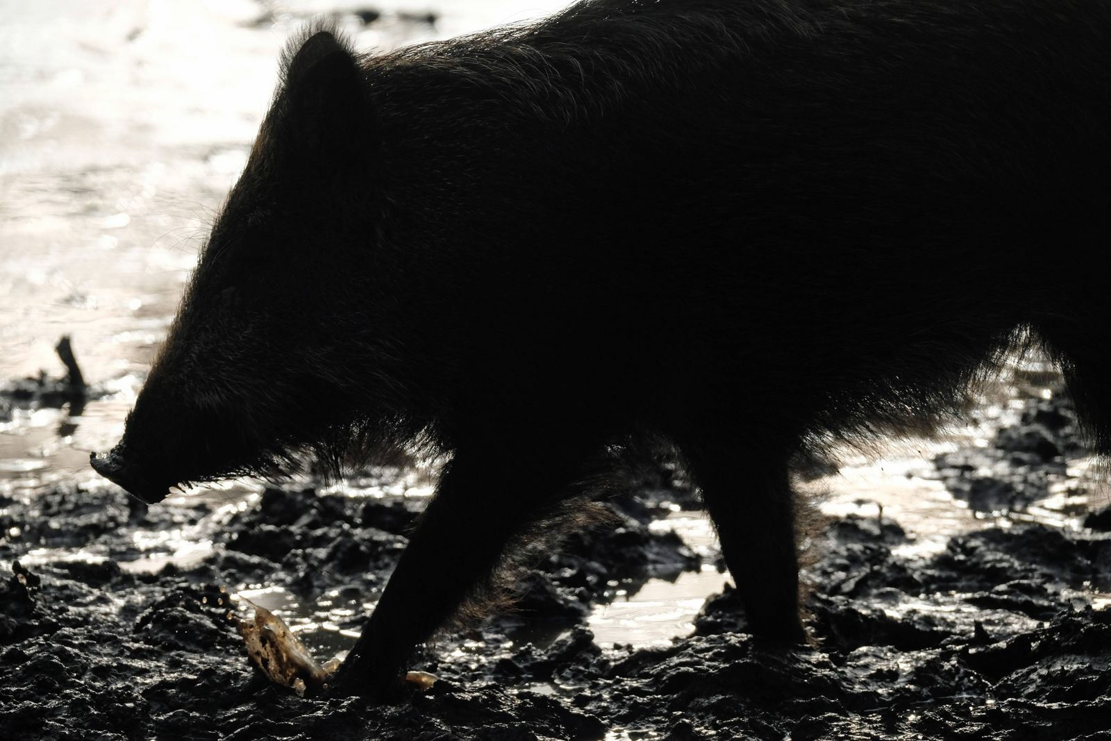 u.B.z. Wildschweine im Wildtiergehege in verschidenen Aktionen. Wildschweine *** u e.g. wild boars in the wild animal e