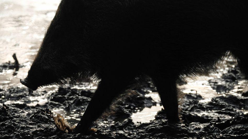 Wildschweine sind durch die Afrikanische Schweinepest gefährdet