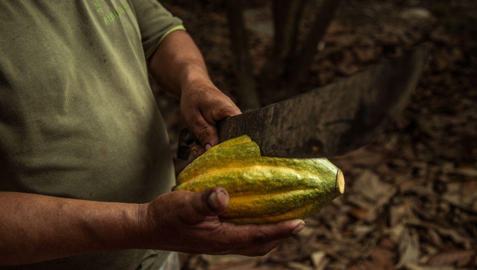Kakaobohnen sind wertvoll, aber bei vielen Kakaobauern kommt vom Gewinn wenig an