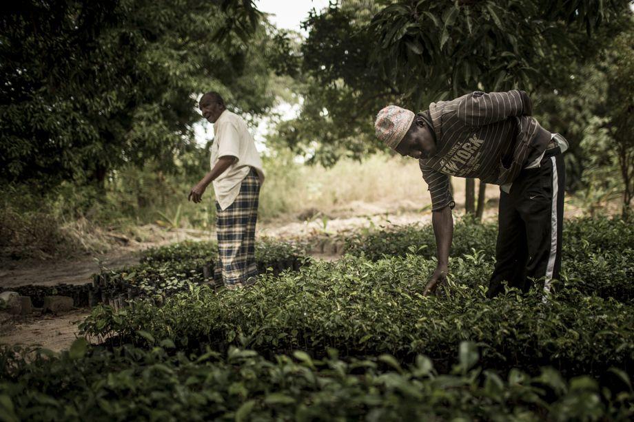 Hamsa Martin Singa (Hintergrund) hat den Tabakanbau aufgegeben. Stattdessen ziehen er und sein Sohn Obstsetzlinge, die sie an Plantagen in der Umgebung verkaufen