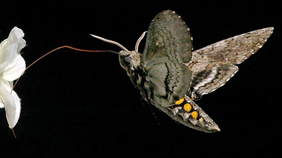 Tabakschwärmer (Manduca sexta) bei Nahrungsaufnahme: Die Raupen schützt ihr übelriechender Körpergeruch vor Fressfeinden