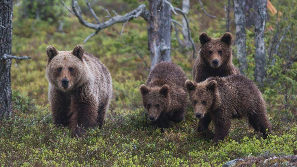 Raubtiere: Bär, Luchs und Wolf sind zurück in Europa