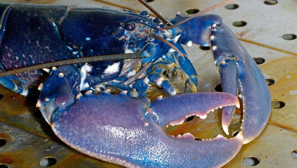 Helgolands Hummer: Die Rückkehr der blauen Ritter