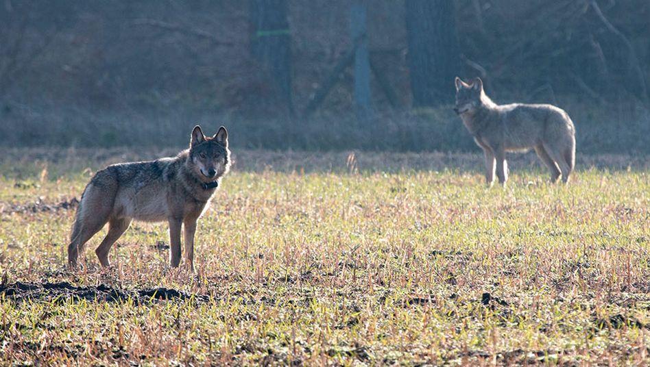Wolf Kurti (links, März 2016) mit einem Artgenossen