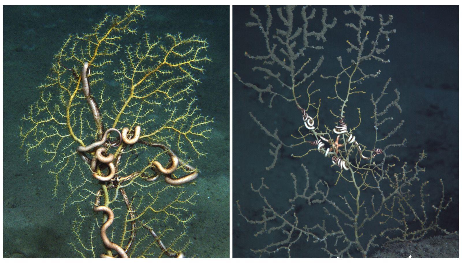 EINMALIGE VERWENDUNG Korallen / Deepwater / WISSENSCHAFT