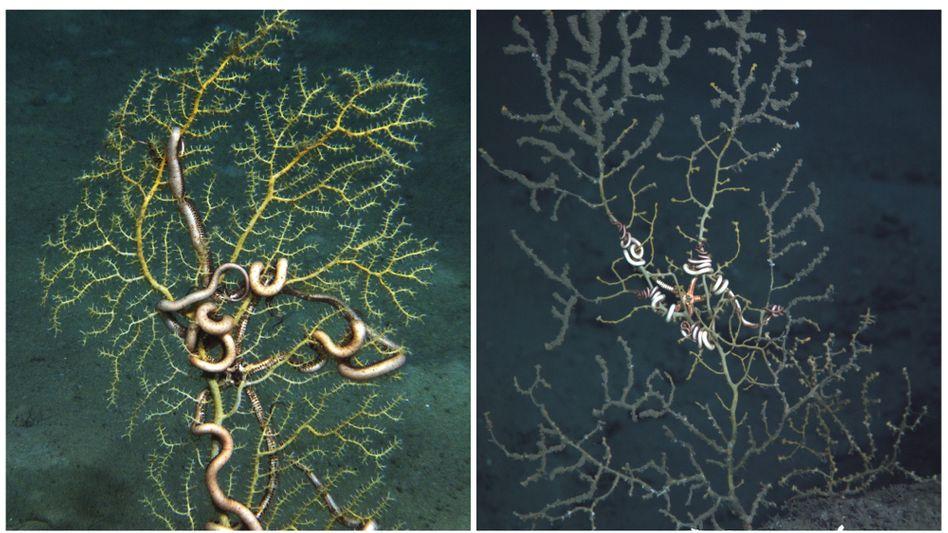 Deutlicher Schaden: Eine gesunde Koralle im November 2010 - und zwei Monate später
