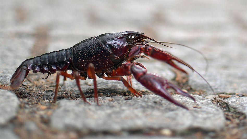 Roter Amerikanischer Sumpfkrebs: Er frisst alles - von Schnecken über Regenwürmer bis hin zu Artgenossen