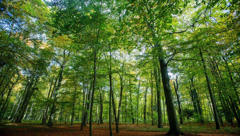 """Wald in Mecklenburg-Vorpommern (Archivbild): """"Da sich eine Pflanze nicht bewegen kann, erscheint Schmerz hier sinnlos"""""""