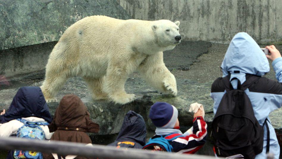 Eisbär Anton 2008 in der Stuttgarter Wilhelma: Tod durch verschluckte Jacke