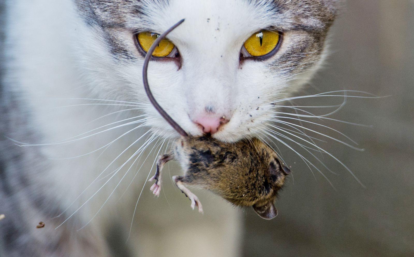 Katze / Maus / Domestizierung