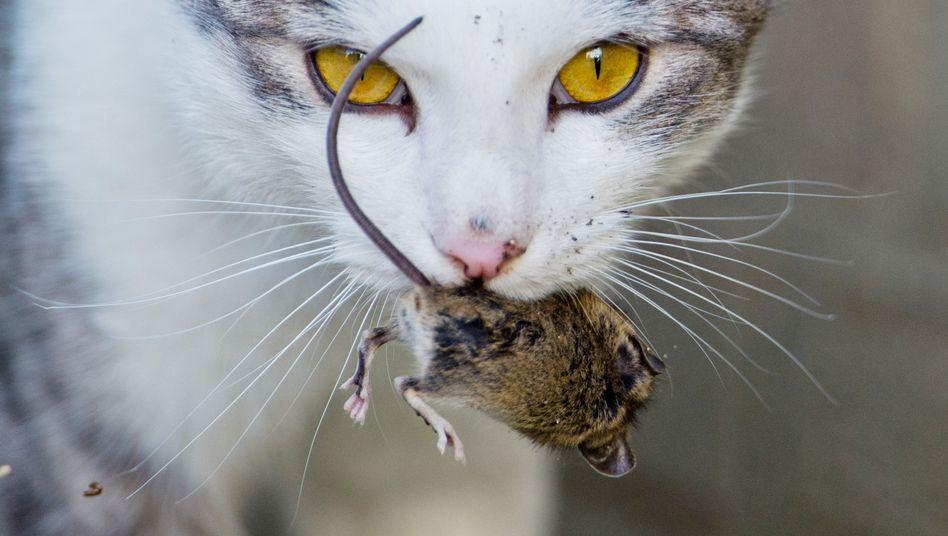 Halbdomestiziert: Katzen sind zahme Haustiere und wilde Jäger zugleich