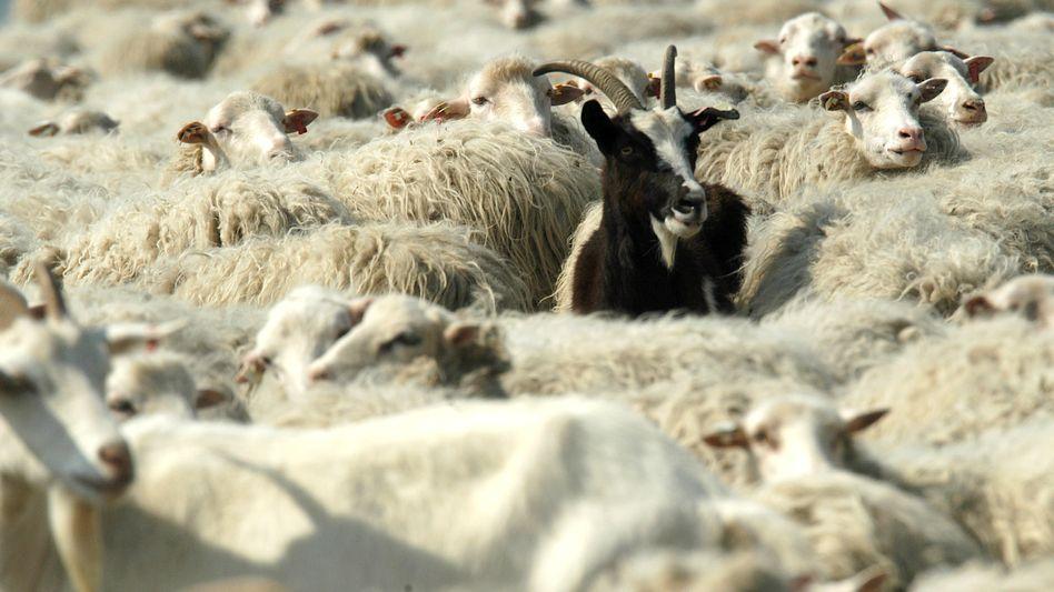 Nackenwaermer 2 er Set Ziegen auf der grünen Wiese Jahrgang Skizze Schafe