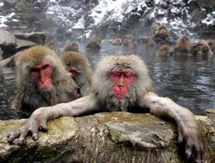 Makaken beim winterlichen Dampfbad in Japan: Affen können äußerst menschlich sein