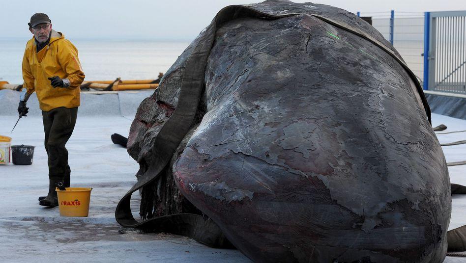Der Walexperte Aart Walen neben einem von zwölf Pottwal-Kadavern: Anstechen, um die Explosionsgefahr zu verringern