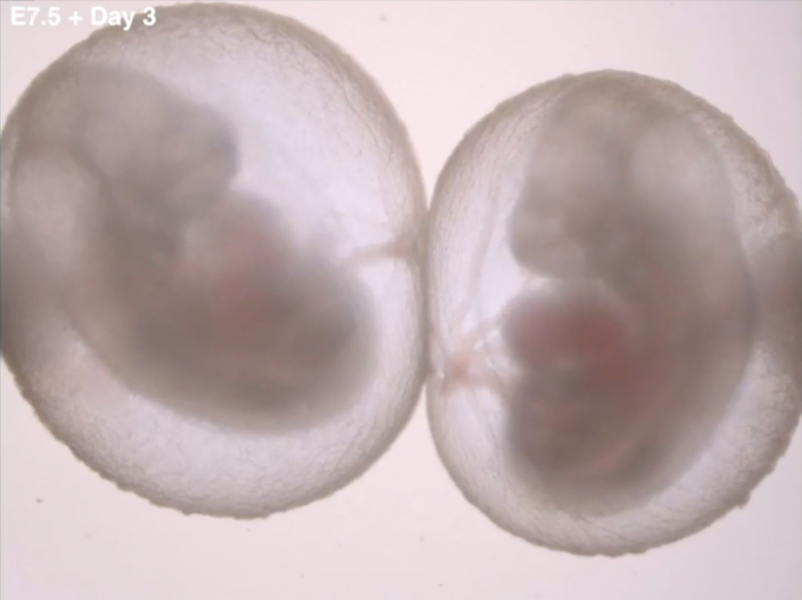 Mouse embryos grown in bottles form organs and limbs