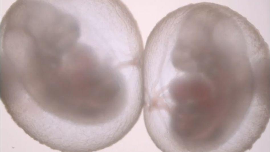 Maus-Embryos: Bisher konnten Wissenschaftler befruchtete Eizellen außerhalb der Gebärmutter nur für kurze Zeit am Leben halten