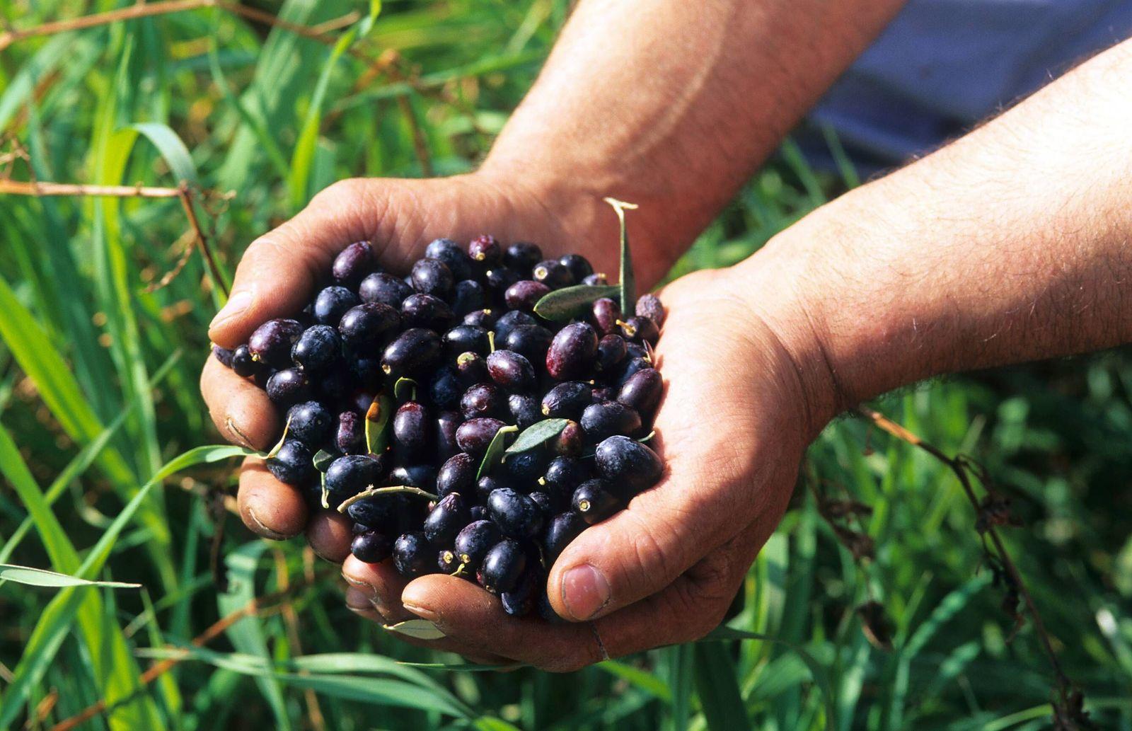 EINMALIGE VERWENDUNG Olivenernte / Oliven