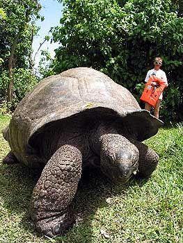 Aldabra-Atemfrische: Georgette, die Riesenschildkröte geht zum Angriff über