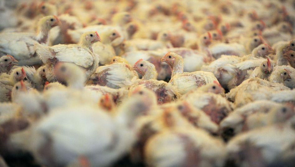 Jungtierein einem Stalldes Geflügelproduzenten Wiesenhof: Boykott wegen Tierquälerei