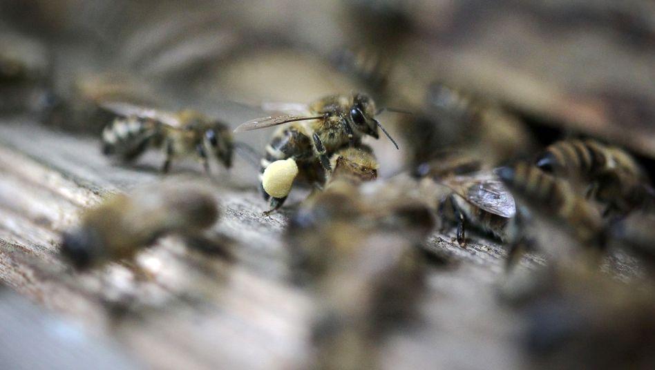 Bienenstock: Allergieauslösende Eiweiße im Gift der Biene