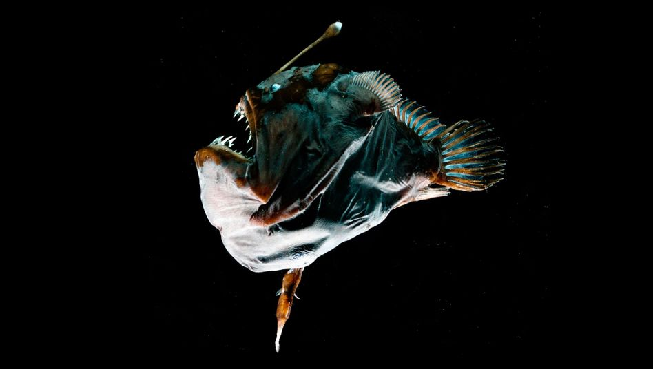 Der kleine Zipfel am Bauch dieses Anglerfisch-Weibchens ist - das Männchen.