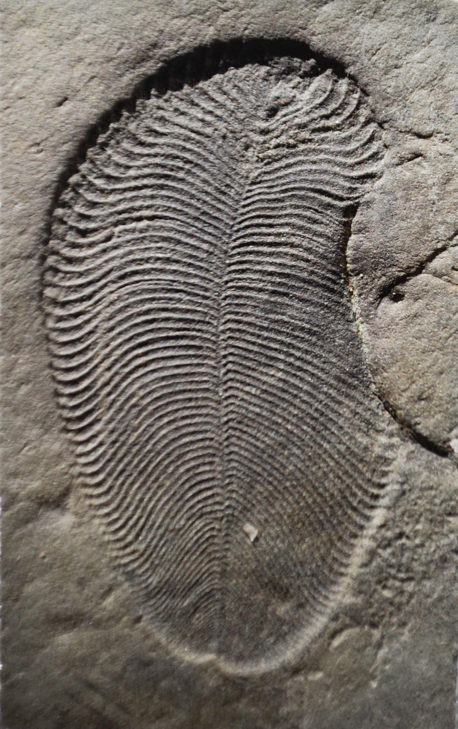 !!! SPERRFRIST 20.09.18 BIS 20UHR !!! EINMALIGE VERWENDUNG Dickinsonia/ Fossil
