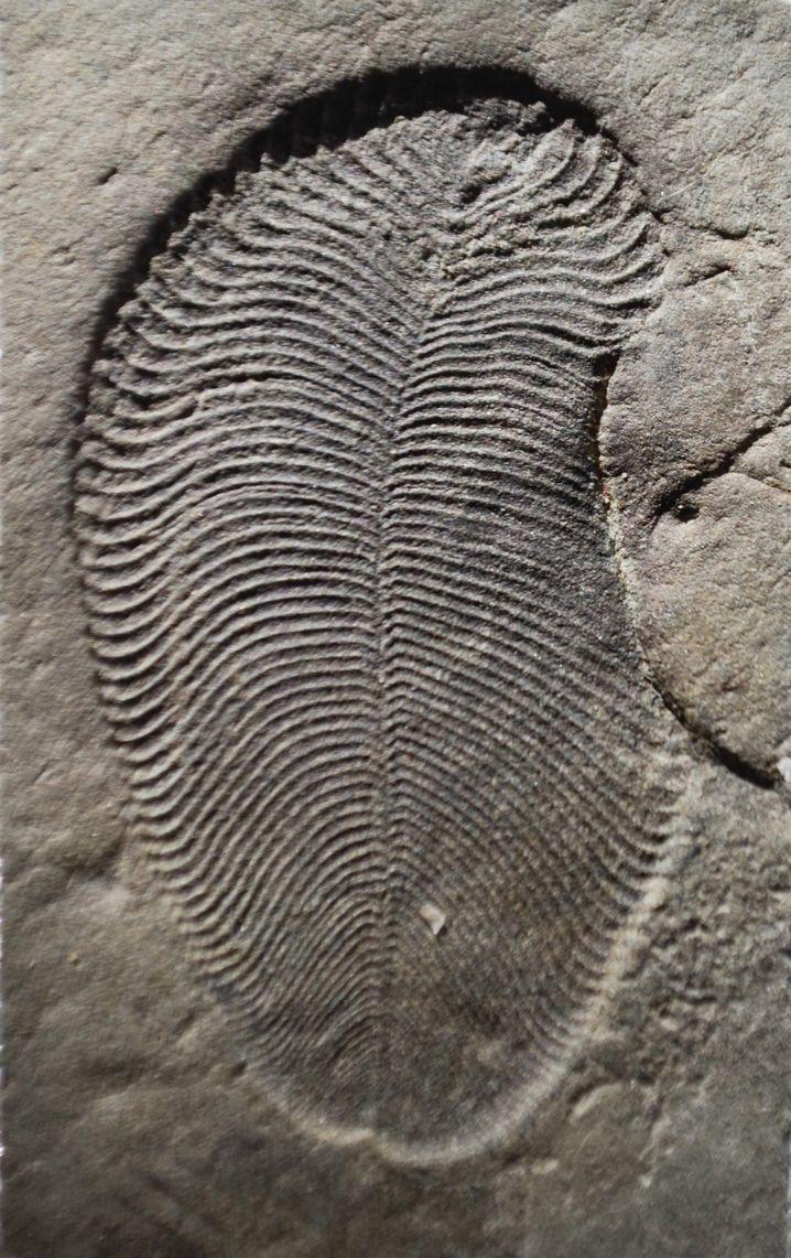 Dickinsonia gehört zu den ältesten bekannten Tieren, so das Ergebnis der Analyse